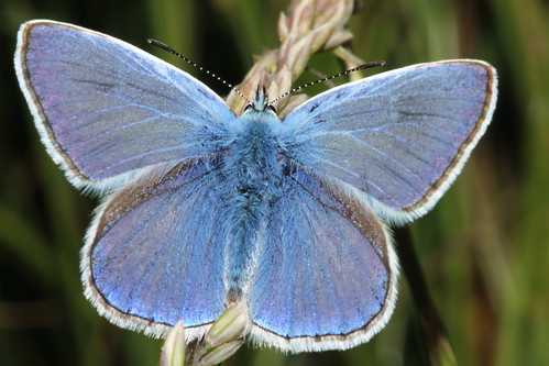 Common Blue 9341