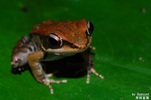拉都希氏赤蛙(2)