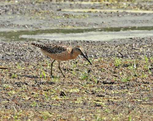 Busy Shorebird - Short-billed Dowitcher by JKissnHug