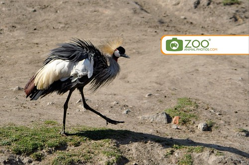 Crowned Crane picure following shadow
