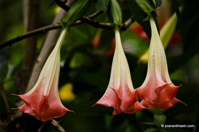 Wild Drooping Flowers In Thekkady Kerala Flickr Photo