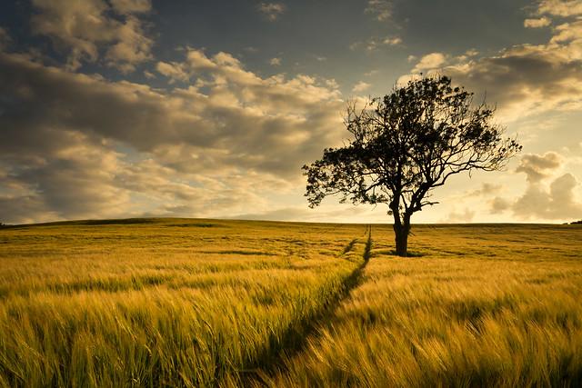 A Lone Tree Among the Barley