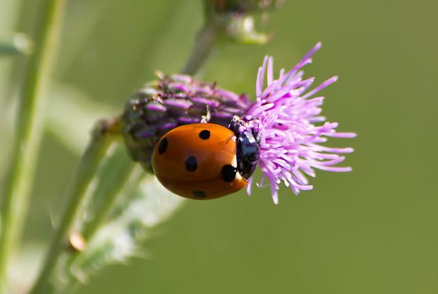 Ladybug2012_Pickering