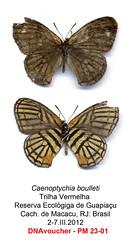 Euptychia boulleti