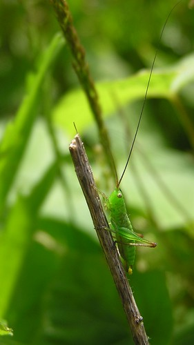 Conocephalus fuscus ou Conocephalus discolor  -  Long-winged Conehead - Conocéphale bigarré - 27/06/12