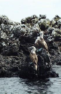 Blue-footed Boobies (Sula nebouxii) on Isabela, Galapagos Islands