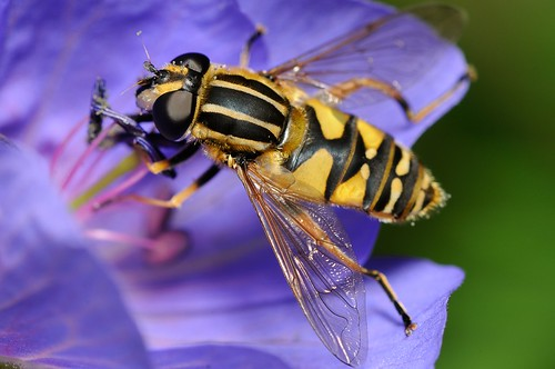 Hoverfly by Andy Pritchard - Barrowford