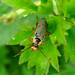 Small photo of Cantharis nigricans. Soldier Beetle.Cantharidae.