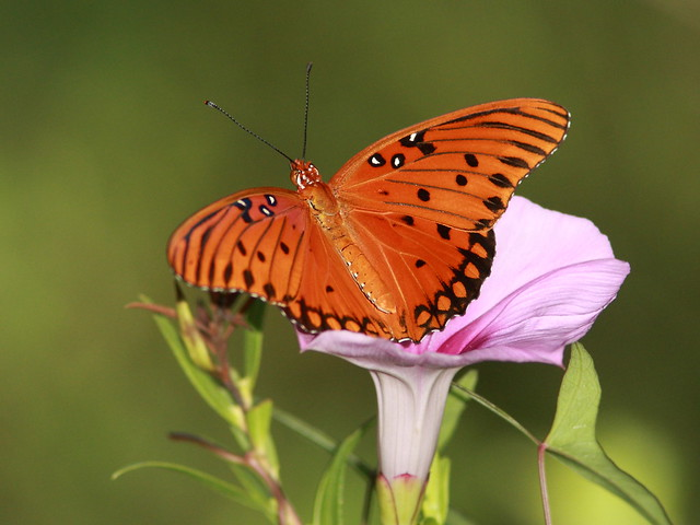 Gulf Fritillary on Morning Glory 20120731