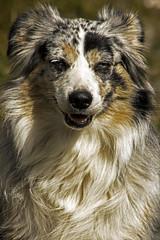 rough collie(0.0), collie(0.0), shetland sheepdog(0.0), dog breed(1.0), animal(1.0), dog(1.0), miniature australian shepherd(1.0), australian shepherd(1.0), carnivoran(1.0),