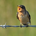 Barn Swallow (Immature) by norm's f-stop