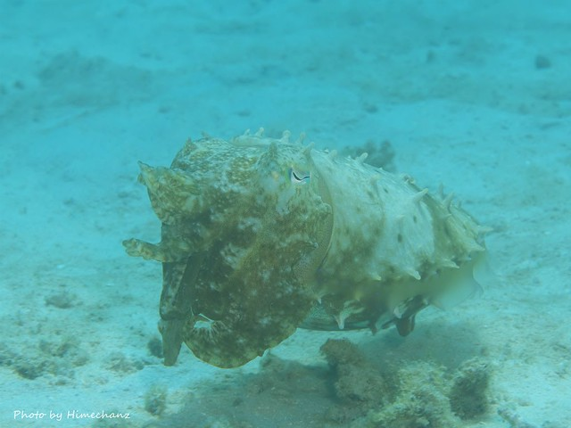 コブシメ幼魚もふ~らふら♪
