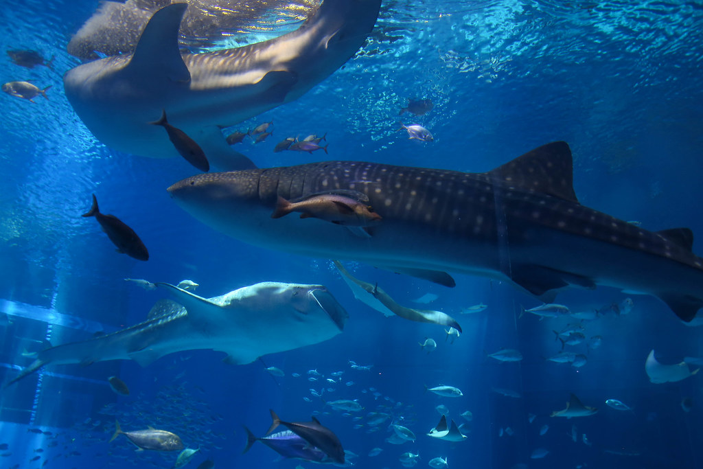 美ら海水族館IMG_8782