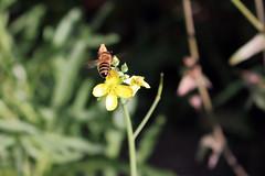 Honigbiene (12) Abflug 1