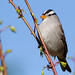 White-Crowned Sparrow II