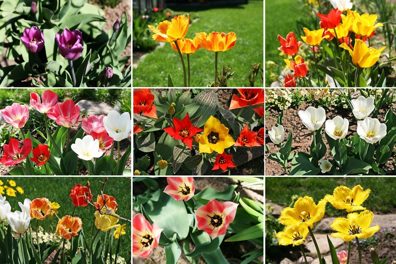 Tulpes1