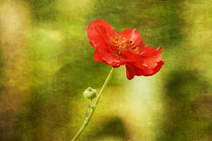 Red Potentilla