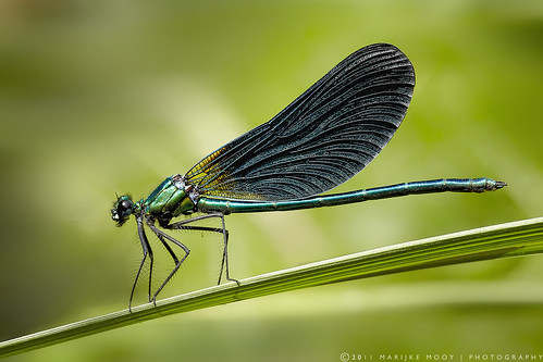 Beautiful Demoiselle | Calopteryx meridionales, male