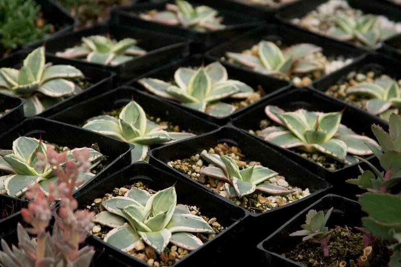 agave  1558