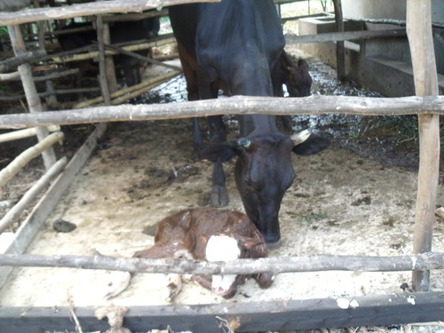Happy Daze with her newly born calf