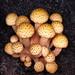 Small photo of Armillaria limonea