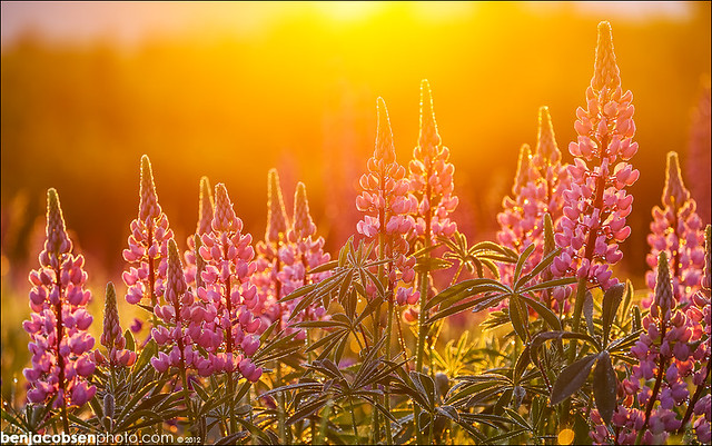 Lupine Flare