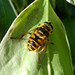 Small photo of Myathropa florea. Syrphidae