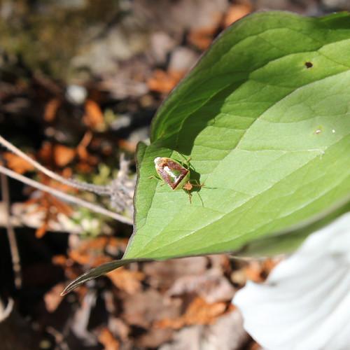 Bug on Trillium