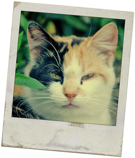 Pretty Calico Cat PicM...