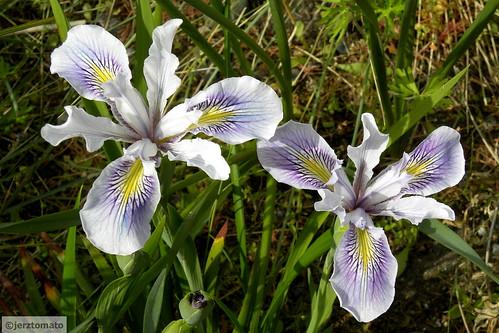 Iris x pacifica