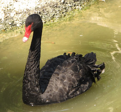 animal, black swan, water bird, swan, wing, water, fauna, beak, bird, wildlife,