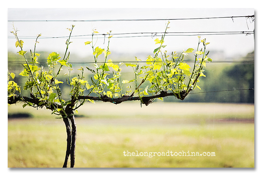 Vines in the Vineyard Spring 2012 BLOG
