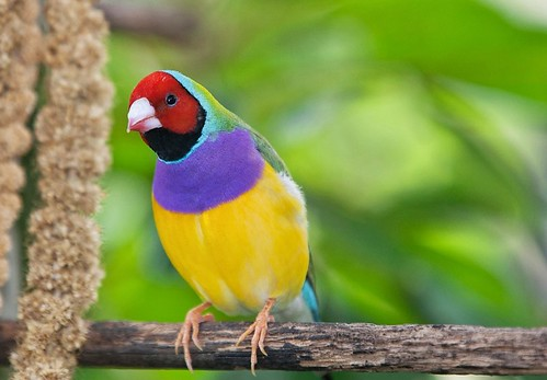 Lady Gouldian Finch by Thelma Gatuzzo