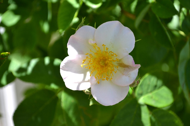 Rosa dupontii. Photo by Jean-Marc Grambert.