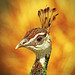 Peahen by shelshots