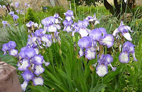 Iris d'une voisine width=