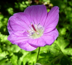 geranium cinereum(0.0), garden cosmos(0.0), pinkladies(0.0), annual plant(1.0), flower(1.0), malva(1.0), macro photography(1.0), wildflower(1.0), pink evening primrose(1.0), flora(1.0), petal(1.0),