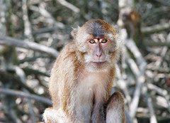Monkey at Bang Rong, Phuket