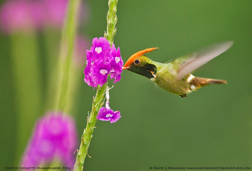 Crested Coquette - Amazon, Peru