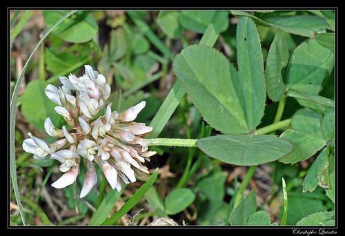 Trèfle rampant (Trifolium repens)
