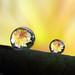 drops of dahlia by Parag Giri