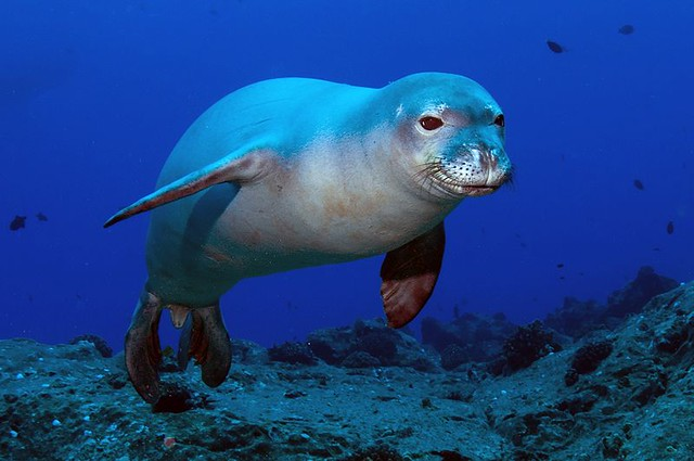 he Hawaiian monk seal