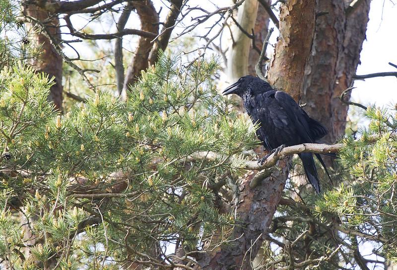 Korp (Corvus corax)