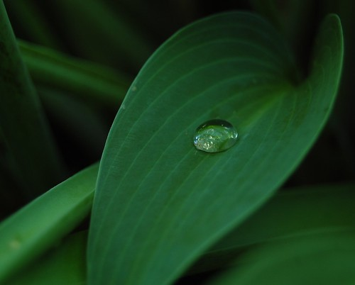 One drop of rain on a hosta leaf