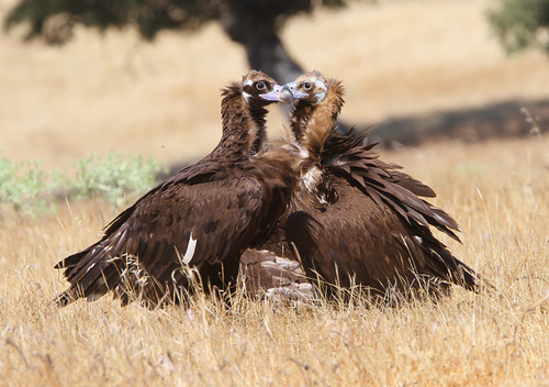 Valentine's Day in the Wild - Vultures