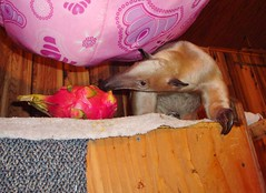 Pua didn't like the dragon fruit