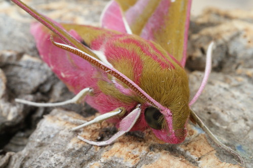 Elephant Hawk-moth (Deilephila elpenor) - close-up