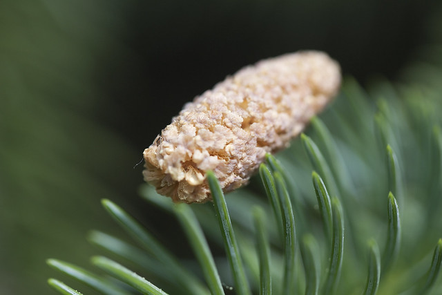 catkin on pine needles2