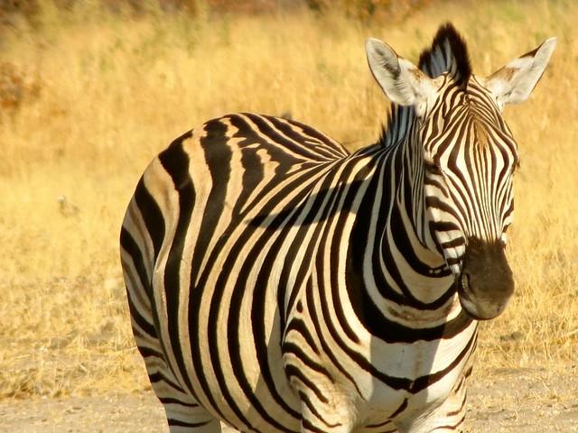 Camping in Botswana Zebra