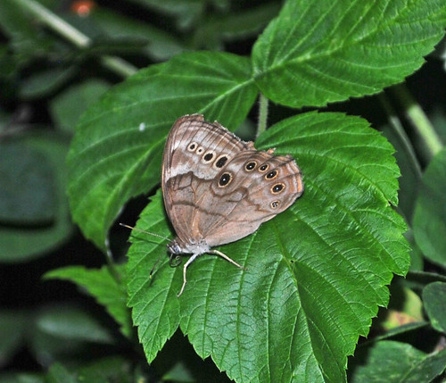 Northern Pearly-Eye (Enodia anthedon)
